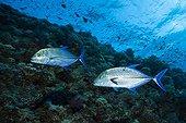Bluefin trevally - Egypt Red Sea ; Bluefin Trevally, St. Johns Reef, Red Sea, Egypt