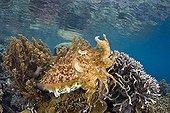 Broadclub Cuttlefish - Indonesia Western New Guinea ; Broadclub Cuttlefish with defensive attitude, Raja Ampat, West Papua, Indonesia