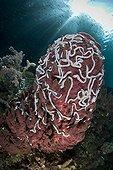 Barrel Sponge Sea cucumber - Indonesia Western New Guinea ; White Worm Sea Cucumbers on Barrel Sponge, Raja Ampat, West Papua, Indonesia