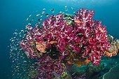 Corail mou / Alcyonaire Poisson - Indonésie Nouvelle-Guinée occidentale ; Colorful Coral Reef, Raja Ampat, West Papua, Indonesia