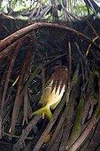 Broadclub Cuttlefish - Indonesia Western New Guinea ; Broadclub Cuttlefish feeding on fish between Mangrove Tree Roots, Raja Ampat, West Papua, Indonesia