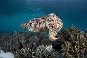 Broadclub Cuttlefish - Indonesia Western New Guinea ; Broadclub Cuttlefish, Raja Ampat, West Papua, Indonesia