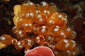 Sea squirt - Celebes Sea Manado ; Colony of Sea Squirt, Bunaken, North Sulawesi, Indonesia