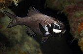 Flashlightfish (Photoblepharon palpebratus) with light organ under eyes, Bunaken, North Sulawesi, Indonesia
