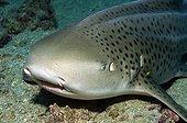 Shark - Andaman Sea Thailand ; Leopard Shark, Phi Phi Islands, Thailand