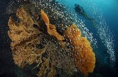 Corail dur Gorgone Poisson - Andaman Thaïlande ; Scuba diving over Coral Reef, Richelieu Rock, Surin Islands, Thailand