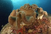 Mushroom Leather Coral - Andaman Sea Thailand ; Mushroom Leather Coral, Richelieu Rock, Surin Islands, Thailand