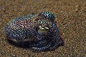 Bobtail squid - Bali ; Bobtail Cuttlefish hiding in Sand, Bali, Seraya, Indonesia
