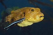 Bluestreak cleaner wrasse Starry toadfish - Bali ; Juvenile Star Puffer cleaned by Cleaner Wrasse, Bali, Tulamben, Indonesia