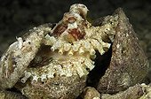 Veined octopus - Indonesia ; Coconut Octopus hiding in Shell, Flores, Indonesia