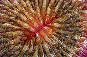Mushroom coral - Indonesia ; Mouth of Mushroom Coral, Komodo, Indonesia