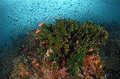 Corail feuille Poisson - Indonésie ; Cup Coral in Coral Reef, Komodo, Indonesia