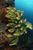 Ribbon sweetlips - Indonesia ; Shoal of Yellow-ribbon Sweetlips, Komodo, Indonesia
