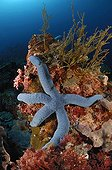 Blue linckia sea star - Indonesia ; Blue Starfish in Coral Reef, Alor, Indonesia