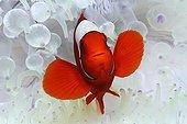 Sea anemone Spinecheek anemonefish - Papua New Guinea ; Spinecheek Clownfish in white Sea Anemone, Kimbe Bay, New Britain, Papua New Guinea