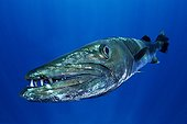 Barracuda - Papouasie-Nouvelle-Guinée ; Great Barracuda, Kimbe Bay, New Britain, Papua New Guinea