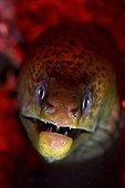 Giant moray - Papua New Guinea ; Juvenile Giant Moray, New Ireland, Papua New Guinea