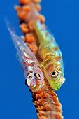Large whip goby - Papua New Guinea ; Two Whip Goby, New Ireland, Papua New Guinea