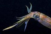 Bigfin reef squid - Israel Red Sea ; Bigfin Reef Squid, Eilat, Red Sea, Israel