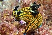 Nudibranch - North Island ; Sea Slug, Poor Knights Islands, New Zealand