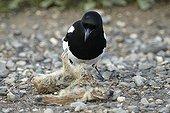 Black-billed Magpie near a dead rodent Denali NP