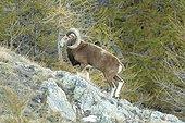 Male Mouflon Mercantour NP France