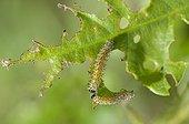 Oak Sawfly on a leaf Lorraine France