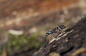 Parasitic hymenoptera on deadwood Lorraine France