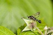 Currant borer (Synanthedon tipuliformis) on Raspberry Lorraine France
