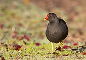 Moorhen looking for food in the grass in winter GB