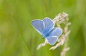 Argus male blue on spike grass Lorraine France  ; Calcareous grassland