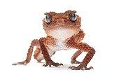 Banded Knob-tail Gecko ; Nephrurus wheeleri cinctus Carphodactylidae Originaire d'Australie de l'Ouest