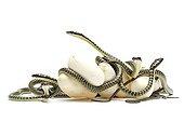 Ornate flying snake ; Eclosion de serpents volants Chrysopelea ornata
