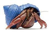 Land hermit crab ; Bernard l'hermite terrestre Coenobita clypeatus Coquille peinte en bleu