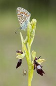 Brown Argus on Fly Orchid Lorraine France  ; Calcareous grassland