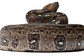 Boa constrictor ; Boa constrictor imperator léopard Boidae