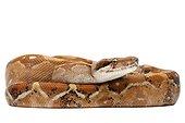 Boa constrictor ; Boa constrictor imperator albino paradox Boidae Originaire du Nicaragua