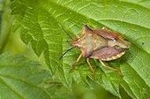 Shield Bug on leaf  France