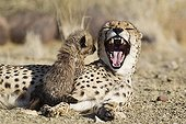 Female yawning and young male cheetah in savanna Namibia  ; Age: 41 days