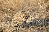 Black-footed Cat in Savannah Namibia  ; Harnas Wildlife Foundation