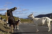 Goat rearing on a road France