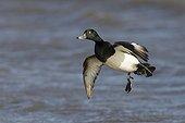 Tufted Duck in flight in winter GB