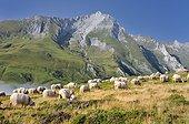 Sheep on pasture Col du Soulor Pyrenees France ; In background massive limestone Gabizos: 2692m.