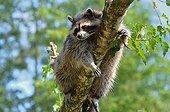 Raccoon on a branch animal park Argelès France