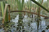 Green frog in a pond Lac de Madine Lorraine France ; Réserve Nationale de Chasse et de Faune Sauvage du Lac de Madine et de l'étang de Pannes
