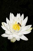 Fleur sauvage Insecte Nénuphar blanc ; USA, Georgia, Savannah, Bee on yellow centre of Water lily, Nymphaea alba, encircled by white petals.
