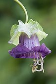 Cobée grimpante Fleur sauvage ; Single, bell shaped flower of Cobaea scandens Purple with protruding stamen. Water droplets on flower petals and bract.