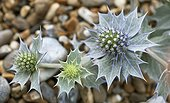 Seaside eryngo Wild flower ; Sea holly, Eryngium maritimum. Flower heads surrounded by spiny bracts netted with silvery white veins.