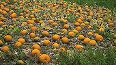 Potiron ; Harvested pumpkins, Cucurbita maxima laid outside to cure and harden before storing.