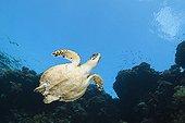 Hawksbill Sea Turtle Rocky Island Red Sea Egypt